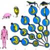 Hayvanlarda gelişme (Embriyo)