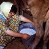 Süt sağan kadın