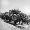 Hatay, Altınözü, Yemiş Ağaçları, 1973